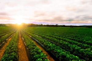 sunrise strawberry farm landscape